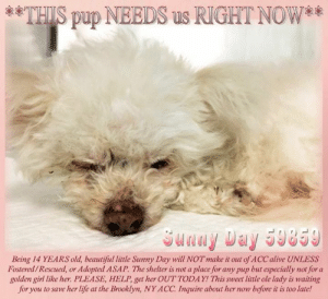 Alive, Animals, and Beautiful: THIS pup NEEDS us RIGHT NOW*  Being 14 YEARS old, beautiful little Sunny Day will NOTmake it out of ACC alive UNLESS  Fostered/Rescued, or Adopted ASAP. The shelter is not a place for any pup but especially not for a  golden girl like her. PLEASE, HELP, get her OUT TODAY! This sweet little ole lady is waiting  for you to save her life at the Brooklyn, NY ACC. Inquire about her now before it is too late!  85 **FOSTER or ADOPTER NEEDED ASAP** **THIS pup NEEDS us RIGHT NOW** Being 14 YEARS old, beautiful little Sunny Day will NOT make it out of ACC alive UNLESS Fostered/Rescued, or Adopted ASAP. The shelter is not a place for any pup but especially not for a golden girl like her. PLEASE, HELP, get her OUT TODAY! This sweet little ole lady is waiting for you to save her life at the Brooklyn, NY ACC. Inquire about her now before it is too late!  ✔Pledge✔Tag✔Share✔FOSTER✔ADOPT✔Save a life!  Sunny Day 59859 Small Mixed Breed Sex female Age 14 yrs (approx.) - ? lbs My health has been checked.  My vaccinations are up to date. My worming is up to date.  I have been micro-chipped.  I am waiting for you at the Brooklyn, NY ACC. Please, Please, Please, save me!  **************************************** To FOSTER or ADOPT this little nugget, SPEAK UP NOW  Direct adopt from NYC ACC OR  APPLY with rescues  OR  message Must Love Dogs - Saving NYC Dogs for assistance immediately! **************************************  The general rule is to foster you have to be within 4 hours of the NYC ACC approved New Hope partner rescues you are applying with and to adopt you will have to be in the general NE US area; NY, NJ, CT, PA, DC, MD, DE, NH, RI, MA, VT & ME (some rescues will transport to VA).  **************************************  You must apply to rescues already approved to pull from NYC ACC shelters. Rescues can't do anything without APPLICATIONS! If your application is approved, rescue will arrange transport. ************************************** ..