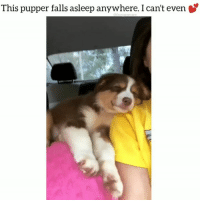 Cute, Dogs, and Friends: This pupper falls asleep anywhere. I can't even This is my spirit animal. ❤️ Tag your friends @funpawcare . . @emmie_the_gr8 acd australianshepherd australiancattledog puppylove doglover puppies puppy pupper puppers puppiesofinstagram dogstagram sleep sleeping sleepy vegan plantbased dogs dog pet love dogsofinstagram cute socute cutness newpuppy newdog doglove doglovers furbaby workingdog