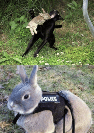 This rabbit you see here risked his life to catch this cat and now he's a cop: This rabbit you see here risked his life to catch this cat and now he's a cop
