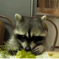 Memes, Too Much, and 🤖: This racoon eating grapes with his tiny hands is too much