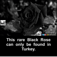 Memes, Turkey, and 🤖: This rare Black Rose  can only be found in  Turkey.