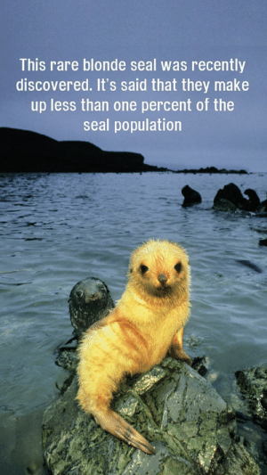 Forbidden shrimp tempura: This rare blonde seal was recently  discovered. It's said that they make  up less than one percent of the  seal population Forbidden shrimp tempura