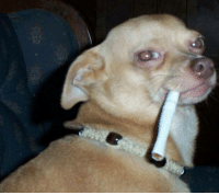"""this rare tobacci chihuahua only appear once every 420 year, clean rolls and good leaf will come to you but only if you comment """"light me up hombre"""" in this thread: this rare tobacci chihuahua only appear once every 420 year, clean rolls and good leaf will come to you but only if you comment """"light me up hombre"""" in this thread"""