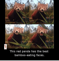 Red pandas: This red panda has the best  bamboo-eating faces.