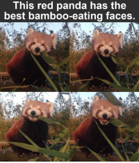 Make sure to like the Tickld page for more!: This red panda has the  best bamboo-eating faces. Make sure to like the Tickld page for more!