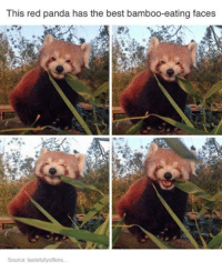 Red pandas: This red panda has the best bamboo-eating faces  Source: tastefullyoffens