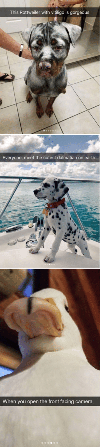 animalsnaps:Animal snaps: This Rottweiler with vitiligo is gorgeous   Everyone, meet the cutest dalmatian on earth!   When you open the front facing camera animalsnaps:Animal snaps