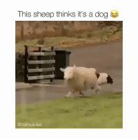 Shake it off 😂 (@hilarious.ted): This sheep thinks it's a dog  @hilarious.ted Shake it off 😂 (@hilarious.ted)