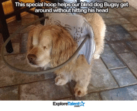 ♥️ I'm proud of you Bugsy!   Wow Amazing Dogs: This special hoop helps our blind dog Bugsy get  around without hitting his head  Talent  Explore ♥️ I'm proud of you Bugsy!   Wow Amazing Dogs