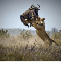Africa, Life, and Memes: This spectacular photo was taken by wildlife photographer Jacques Matthysen from a safari camp in South Africa. The picture captures a literal moment of life and death as a wildebeest leaps into the air to narrowly escape a lion. amazing hunt lionking science