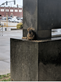 Pregnant, Work, and Squirrel: This squirrel at my work noming on peanuts. She's sweet as could be, and we think she's pregnant.