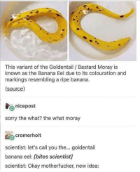 Sorry, Banana, and Okay: This variant of the Goldentail / Bastard Moray is  known as the Banana Eel due to its colouration and  markings resembling a ripe banana.  (source)  nicepost  sorry the what? the what moray  cromerholt  scientist: let's call you the... goldentail  banana eel: [bites scientist]  scientist: Okay motherfucker, new idea: Naming process of an Eel