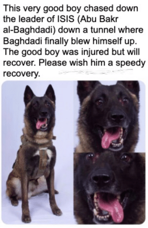 Wholesome good boi: This very good boy chased down  the leader of ISIS (Abu Bakr  al-Baghdadi) down a tunnel where  Baghdadi finally blew himself up  The good boy was injured but will  recover. Please wish him a speedy  recovery Wholesome good boi
