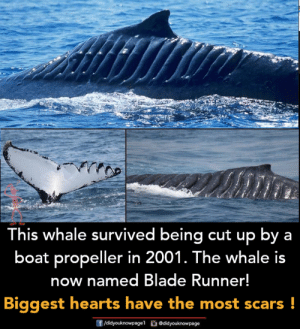 Blade, Memes, and Hearts: This whale survived being cut up by a  boat propeller in 2001. The whale is  now named Blade Runner!  Biggest hearts have the most scars!