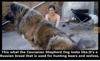 This what the Caucasian Shepherd Dog looks like.It's a  Russian breed that is used for hunting bears and wolves.