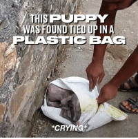 His rescuers found him on the street crying in a bag, but 6 weeks later his transformation was incredible ❤️🐶  Animal Aid Unlimited: THISPUPPY  WASFOUND TIED UP IN A  LASTIC BAG  CRYING His rescuers found him on the street crying in a bag, but 6 weeks later his transformation was incredible ❤️🐶  Animal Aid Unlimited