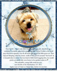 """Andrew Bogut, Apparently, and Cats: Thor 52143... Super-cute little nuggjust3 yrs old, described as a  confident, excitable, playful & sometimas, the typical Yorkie, a bit aloof  pup who loves squeaky toys& all treats he-can get his little paws on. Thor  enjoyed sleeping with his owner, walks in the park & around """"his hood"""" &  is housebroken to boot. Not too fond of little kids bugging him, he would  prefer an adult only new home to be spoiled rotten in  This adorable, young fella waits for you  save his life at the Manhattan, NY ACC.  Apply now to Foster or Adopt him, before it is too late **FOSTER or ADOPTER NEEDED ASAP**  Thor 52143... Super-cute little nugget, just 3 yrs old, described as a confident, excitable, playful & sometimes, the typical Yorkie, a bit aloof pup who loves squeaky toys & all treats he can get his little paws on. Thor enjoyed sleeping with his owner, walks in the park & around """"his hood"""" & is housebroken to boot. Not too fond of little kids bugging him, he would prefer an adult-only new home to be spoiled rotten in. ;) This adorable, young little fella waits for you to save his life at the Manhattan, NY ACC. Apply now to Foster or Adopt him, before it is too late but HURRY, he is about Out Of Time. :(   ✔Pledge✔Tag✔Share✔FOSTER✔ADOPT✔Save a life!  ************************************** To FOSTER or ADOPT adorable little Thor, SPEAK UP NOW & Save a Life, APPLY with rescues OR message Must Love Dogs - Saving NYC Dogs IMMEDIATELY!!!! **************************************  The general rule is to foster you have to be within 4 hours of the NYC ACC approved New Hope partner rescues you are applying with and to adopt you will have to be in the general NE US area; NY, NJ, CT, PA, DC, MD, DE, NH, RI, MA, VT & ME (some rescues will transport to VA).  **************************************  """"Rescue only"""" means a foster or adopter must live within the Northeastern states and must apply to rescues already approved to pull from NYC ACC shelters. Rescues """