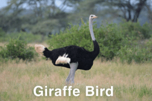 Those of you who follow my informative research reports will love my upcoming feature on the giraffe bird and after that, my amazing piece discussing the invisible pheasant. Stay tuned.: Those of you who follow my informative research reports will love my upcoming feature on the giraffe bird and after that, my amazing piece discussing the invisible pheasant. Stay tuned.