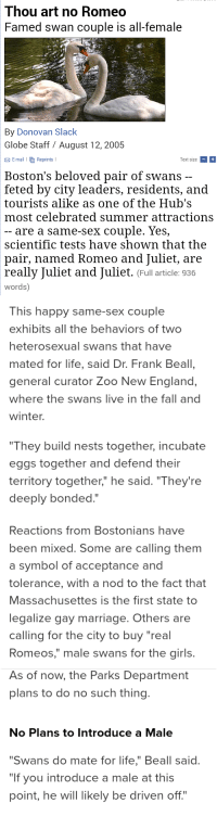 """England, Fall, and Girls: Thou art no Romeo  Famed swan couple is all-female  By Donovan Slack  Globe Staff / August 12,2005  E-mail l  Reprints I  Text size+  Boston's beloved pair of swans  feted by city leaders, residents, and  tourists alike as one of the Hub's  most celebrated summer attractions  are a same-sex couple. Yes,  scientific tests have shown that the  pair, named Romeo and Juliet, are  really Juliet and Juliet. (Full article: 936  words)   This happy same-sex couple  exhibits all the behaviors of two  heterosexual swans that havee  mated for life, said Dr. Frank Beal,  general curator Zoo New England,  where the swans live in the fall and  winter.  """"They build nests together, incubate  eggs together and defend their  territory together,"""" he said. """"They're  deeply bonded.""""   Reactions from Bostonians have  been mixed. Some are calling them  a symbol of acceptance and  tolerance, with a nod to the fact that  Massachusettes is the first state to  legalize gay marriage. Others are  calling for the city to buy """"real  Romeos,"""" male swans for the girls.   As of now, the Parks Department  plans to do no such thing  No Plans to Introduce a Male  """"Swans do mate for life,"""" Beall said.  """"If you introduce a male at this  point, he will likely be driven off."""" <p><a href=""""http://sanguineswanqueen.tumblr.com/post/154346104440/reblog-if-u-support-these-lesbian-swans"""" class=""""tumblr_blog"""">sanguineswanqueen</a>:</p><blockquote><p>💗Reblog if u support these lesbian swans 💗</p></blockquote>"""