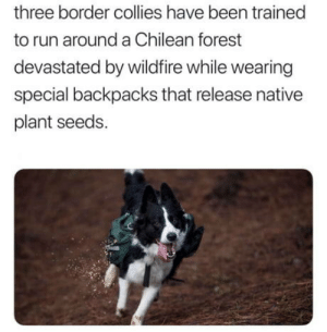 After all the bad news we hear daily, here's something that might cheer you up: three border collies have been trained  to run around a Chilean forest  devastated by wildfire while wearing  special backpacks that release native  plant seeds. After all the bad news we hear daily, here's something that might cheer you up