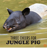 Hurrah! Hurrah! Hurrah!: THREE CHEERS FOR  JUNGLE PIG Hurrah! Hurrah! Hurrah!