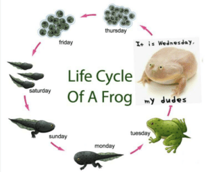 me_irl: thursday  friday  I+ is Wednesday  Life Cycle  Of A Frog  saturday  my dudes  tuesday  sunday  monday me_irl