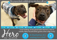 """Animals, Cats, and Children: Thus gorgeous hunk would hit nto any active home with ease!""""  Good looking, social, good leash manners, easy to  handle, likely housetrained, greets other dogs nicely  At Manhattan ACC  waiting for LOVE!  52357 -1years old. 54 bs **** TO BE KILLED - 1/18/2019 ****  AMAZING POOCH IS OUT OF TIME AT THE MANHATTAN SHELTER! PLEASE HELP!! A staff member writes: Hero is worth his weight in gold! A friendly boy with million dollar leash manners and a smile to make Tongue-out Tuesday last all week, he's extremely easy to handle and more handsome than any photo could capture. Hero enjoys back massages and meeting fellow dogs, but his true calling is as a doggie detective and he always seems to be working on a case! Never happier than snuffling his way down the street or through the park, he'll stop every so often to take care of business and 'check in' with his walker, then quickly put his super sniffer back to work. Hero passes pedestrians of all ages and dogs of all sizes with ease. He's totally cool (or should I say warm?) with being dressed in a winter coat for his stroll and photo shoot. Low-key, social and independent, this gorgeous hunk would fit into any active home with ease. You could be the hero that he's been waiting for, ask to meet him at our Manhattan Care Center today!  HERO@MANHATTAN ACC Hello, my name is Hero My animal id is #52357 I am a male black brindle dog at the  Manhattan Animal Care Center The shelter thinks I am about 1 years old, 54 lbs Came into shelter as a stray Jan. 11, 2019  Hero is at risk for medical reasons. Hero was diagnosed with canine infectious respiratory disease complex which is contagious to other animals and will require in home care. Behaviorally, Hero is an enthusiastic young dog who will require regular physical and mental stimulation.  My medical notes are... Weight: 54.8 lbs Vet Notes 12/01/2019 DVM Intake Exam Estimated age: ~2-3yrs based on PE  Microchip noted on Intake? scanned negative ; placed"""