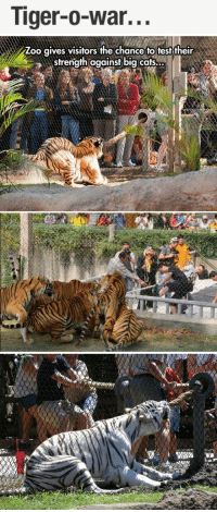 "Animals, Bored, and Cats: Tiger-o-war...   Zoo qives visitors the chance to test their  sfrength against big cafs. <p><a href=""http://hayjulay.tumblr.com/post/81531484743/poorlittlequeenie-thebearqueen"" class=""tumblr_blog"">hayjulay</a>:</p>  <blockquote><p><a class=""tumblr_blog"" href=""http://poorlittlequeenie.tumblr.com/post/81022659100/thebearqueen-nothing-here-go-away"">poorlittlequeenie</a>:</p> <blockquote> <p><a class=""tumblr_blog"" href=""http://thebearqueen.tumblr.com/post/76499909756/nothing-here-go-away-wolfstrider"">thebearqueen</a>:</p> <blockquote> <p><a class=""tumblr_blog"" href=""http://nothing-here-go-away.tumblr.com/post/76489880374/wolfstrider-thomassawyerismyname"">nothing-here-go-away</a>:</p> <blockquote> <p><a class=""tumblr_blog"" href=""http://wolfstrider.tumblr.com/post/76271278301"">wolfstrider</a>:</p> <blockquote> <p><a class=""tumblr_blog"" href=""http://thomassawyerismyname.tumblr.com/post/75977695598/mangiemay-irvinator1-booksarerevolution"">thomassawyerismyname</a>:</p> <blockquote> <p><a class=""tumblr_blog"" href=""http://mangiemay.tumblr.com/post/75965604560/irvinator1-booksarerevolution-vegankween"">mangiemay</a>:</p> <blockquote> <p><a class=""tumblr_blog"" href=""http://irvinator1.tumblr.com/post/75964453004"">irvinator1</a>:</p> <blockquote> <p><a class=""tumblr_blog"" href=""http://booksarerevolution.tumblr.com/post/75074891692/vegankween-1-those-tigers-look-thin-2-zoos"">booksarerevolution</a>:</p> <blockquote> <p><a class=""tumblr_blog"" href=""http://vegankween.tumblr.com/post/75074180298/1-those-tigers-look-thin-2-zoos-are-fucking"">vegankween</a>:</p> <blockquote> <p>1. Those tigers look thin.</p> <p>2. Zoos are fucking stupid.</p> <p>3. Capturing wild animals and using them for human entertainment is a super shitty thing to do.</p> <p>4. This is not cool.</p> </blockquote> <p>This is abuse and horrible.  Zoos are prisons.</p> </blockquote> <p>Some zoos only take old animals to where they are given an easy life. Their maintenance is funded by people coming into the zoo.</p> </blockquote> <p>Those tigers are not thin.</p> <p>""Zoos are fucking stupid"" wow such science you sold me</p> <p>They weren't captured for this purpose, they probably weren't captured at all, it's called rescuing. </p> <p>This is cool.</p> <p>This is not abuse, it's actually exercise if you think about it.</p> <p>Zoos are not prisons. Zoos allow us to rescue animals, research them, and protect them from hunters and the dangers that we, as humans, impose on them.</p> <p>I'm so done with all the shit about zoos on my fucking dash. </p> <p>Zoos literally save animals every day so why don't you do your freaking research.</p> </blockquote> <p>This comment is perfect^</p> </blockquote> <p>Animals come to zoos as a result of </p> <ul><li>being born captive</li> <li>getting injured in the wild and rescued to live a healthy life in captivity</li> <li>being rescued from black market dealers, private collectors, or the like who decide that they can no longer care for the animals or who had been illegally keeping the animals</li> <li>being in a breeding program to increase their numbers because the animal is endangered in the wild</li> </ul><p>If you knew anything about tigers at all, you'd know that they are endangered in the wild due to poaching and hunting. It is of utmost importance that their numbers increase, or they will go extinct within the next fifty years. I don't know what zoo this is so I don't know their reputation, but the tigers look healthy, and this tug-of-war is good for them because some animals get stressed in zoos when they are bored. This isn't solely to entertain zoo guests, it is to give the tigers something fun to do.</p> <p>Zoos do not snatch animals from the wild without a good reason. If you want to protest animal captivity, go to SeaWorld and protest the orcas being kept there, they are far too large to belong in such cramped spaces and they are solely kept for entertainment.</p> <p>Thank you and good day.</p> </blockquote> <p>ALSO ITS NOT LIKE THEY'RE FORCING THE TIGERS TO GRAB THE ROPE, THE TIGER WANTS TO PLAY</p> </blockquote> <p>Tigers play just like domestic cats play with each other, this is for the educational benefit of the visitors and the enrichment benefit of the tigers. Also word to the comment above. Tigers are endangered to the point that they cannot repopulate themselves in the wild, they need the help of captive institutions like zoos, where they live carefree lives free of stress and can breed and birth without fear that other predators and mating competitors will come along and eat their cubs.<br/><br/>Furthermore, these tigers are NOT thin. In fact, one of the ones in the large group looks borderline obese. People who know nothing about animals need to stop talking about animals.</p> </blockquote> <p>Boosting the shit out of this because I'm so damn tired of whiney morons (who probably never get outside) bitching about animal's rights when they really have no fucking clue.</p> <p>DO YOUR GODDAMN HOMEWORK.</p> </blockquote> <p>ALL OF EVERYTHING IN THIS COMMENTARY</p></blockquote>"