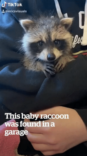Show someone this rescued baby raccoon to make their day! 😍: TikTok  aericsvisuals  This baby raccoon  was found ina  garage Show someone this rescued baby raccoon to make their day! 😍
