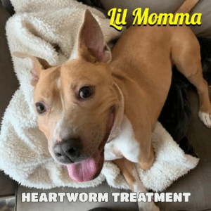 Food, Life, and Memes: Til Momma  HEARTWORM TREATMENT HEARTWORM TREATMENT FOR LIL MOMMA❤️ PLEASE CONTRIBUTE TO HER TREATMENT 🙏 She is still being treated for heartworm so please find it in your heart to help us cure her of heart worm and Please donate to her medical care by visiting www.nybullycrew.org > Adopt> Dire Cases > Lil Momma or Venmo @newyorkbullycrew.  We are now accepting applications for this priceless 💎 gem! 🚨She was SAVED FROM LIFE OF LONELINESS- North Carolina🚨 LOST HER FRONT LEG because it was strangled by the tether‼️• Let's see this girl get the Happy Ever After she deserves! She's dog friendly, people friendly and just plain PAWFECT! • This is Lil Momma- Luckily an NYBC advocate was able to negotiate her surrender just in the nick of time as her owner is very down on his luck and was going to just let her go so she can fend for herself ‼️ She has lived her entire life on that chain, outdoors in NC, heat and cold, and lost her front leg as it fell off after being strangled by the cord. She  had very little to no food, no medical care whatsoever, and she was infested with fleas, ticks and what looks like some other type of bug burrowing in her ears! She is a lovely sweet girl that needs TLC and a home! No dog should live a life of loneliness and starvation😢 #lilmommanybc #savedogs #nybcemergencyrescuesquad #nybcNC #direcases #nybc