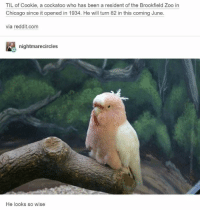 Chicago, Reddit, and Been: TIL of Cookie, a cockatoo who has been a resident of the Brookfield Zoo in  Chicago since it opened in 1934. He wil turn 82 in this coming June.  via reddit.com  nightmarecircles  He looks so wise wise borb