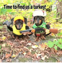 9gag, Memes, and Thanksgiving: Time to find usa turkeyt @crusoe_dachshund looked so rough and tough out on the hunt. 🦃 Follow @9gagcute - - - 9gag dachshund turkey thanksgiving