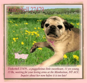 Animals, Desperate, and Dogs: Tinkerbell 27479... a puggalicious little sweetheart, 11 yrs young,  15 lbs, waiting for your loving arms at the Manhattan, NY ACC  Inquire about her now before it is too late! **FOSTER or ADOPTER NEEDED ASAP** Tinkerbell 27479... a puggalicious little sweetheart, 11 yrs young, 15 lbs, waiting for your loving arms at the Manhattan, NY ACC. Inquire about her now before it is too late!  ✔Pledge✔Tag✔Share✔FOSTER✔ADOPT✔Save a life!  Tinkerbell 27479 Small Mixed Breed Sex female Age 11 yrs (approx.) - 15 lbs My health has been checked.  My vaccinations are up to date. My worming is up to date.  I have been micro-chipped.   I am waiting for you at the Manhattan, NY ACC. Please, Please, Please, save me!  **************************************** To FOSTER or ADOPT this little nugget,  SPEAK UP NOW  &  APPLY with rescues  OR  message Must Love Dogs - Saving NYC Dogs for assistance immediately! **************************************  The general rule is to foster you have to be within 4 hours of the NYC ACC approved New Hope partner rescues you are applying with and to adopt you will have to be in the general NE US area; NY, NJ, CT, PA, DC, MD, DE, NH, RI, MA, VT & ME (some rescues will transport to VA).  **************************************  You must apply to rescues already approved to pull from NYC ACC shelters. Rescues can't do anything without APPLICATIONS! If your application is approved, rescue will arrange transport. ************************************** ... NOTE:  *** WE HAVE NO OTHER INFORMATION THAN WHAT IS LISTED WITH THIS FLYER ***  - For more information, or to direct adopt, please EMAIL adopt@nycacc.org  - SUBJECT Line: ** Dog's Name & ID # **  - Don't forget to add your email address and phone numbers where they can reach you to your email as well. ... RE: ACC site Just because a dog is not on the ACC site does NOT necessarily mean safe. There are many reasons for this like a hold or an eval has not been conducted yet or the do