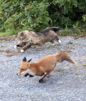 tinsnip:  curious-wiccan: Norwegian forest cat chasing a fox did you mean: two best friends on an IMPORTANT ADVENTURE : tinsnip:  curious-wiccan: Norwegian forest cat chasing a fox did you mean: two best friends on an IMPORTANT ADVENTURE