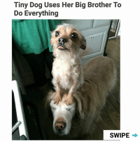 Memes, Big Brother, and 🤖: Tiny Dog Uses Her Big Brother To  Do Everything  SWIPE Clever lil woofer. | For more @aranjevi