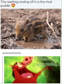 Memes, 🤖, and Mud: Tiny warthog cooling off in a tiny mud  puddle  supremeruleroftheinternet:  When Mas a  young  Wardiog