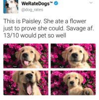 Follow me @antisocialtv @lola_the_ladypug @x__social_butterfly__x @x__antisocial_butterfly__x: TM  @dog rates  This is Paisley. She ate a flower  just to prove she could. Savage af  13/10 would pet so well Follow me @antisocialtv @lola_the_ladypug @x__social_butterfly__x @x__antisocial_butterfly__x