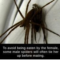 Spiders, Relatable, and Trendy: To avoid being eaten by the female,  some male spiders will often tie her  up before mating. Why is this so relatable 😅