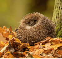 Global Warming, Memes, and Hedgehog: To celebrate TBT, here's one from the @Science vaults: This spiny mammal is readying itself for a hibernation in which its body temperature will drop from 35°C to 2°C. Normally, a hedgehog would already be hibernating by this time of year, but biologists have suggested that global warming may be the reason that this little guy is still awake. Luckily for their mothers, hedgehogs are born with a protective membrane covering their quills, and these quills are eventually used to protect their soft underbellies from predators. Fun fact: A group of hedgehogs is called a prickle.
