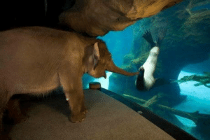 Elephant, Boredom, and This: To prevent boredom this elephant is allowed to visit other exhibits