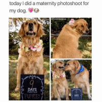 Dogs, Memes, and Puppies: today did a maternity photoshoot for  my dog.  S  Spa Drsmashlove  DAYS  »UNTIL  PUPPIE  DAYS