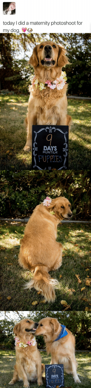 dog days: today I did a maternity photoshoot for  my dog.   DAYS  UNTIL  PUPPIES   DAYS  UNTIL  PUPPIES