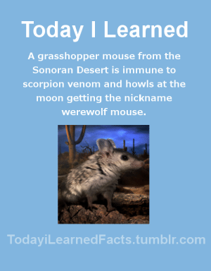 todayilearnedfacts: Follow TodayiLearnedFacts for more Daily Facts! Source : Today I Learned  A grasshopper mouse from the  Sonoran Desert is immune to  scorpion venom and howls at the  moon getting the nickname  werewolf mouse.  TodaviLearned Facts.tumblr.com todayilearnedfacts: Follow TodayiLearnedFacts for more Daily Facts! Source