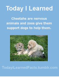 Af, Animals, and Cute: Today I Learned  Cheetahs are nervous  animals and zoos give them  support dogs to help them  TodaviLearned Facts.tumblr.com gazzagreat: todayilearnedfacts:   Follow TodayiLearnedFacts for more Daily Facts! Source   Cute af