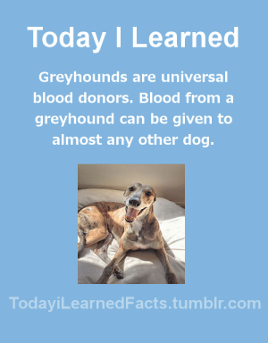 Facts, Tumblr, and Blog: Today I Learned  Greyhounds are universal  blood donors. Blood froma  greyhound can be given to  almost any other dog.  TodaviLearned Facts.tumblr.com greatlakesseakayaker: todayilearnedfacts: Follow TodayiLearnedFacts for more Daily Facts! Another few things that makes them a good donor is that they're large, generally calm and have jugulars the size of garden hose