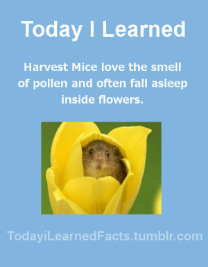 Facts, Fall, and Love: Today I Learned  Harvest Mice love the smell  of pollen and often fall asleep  inside flowers.  TodaviLearned Facts.tumblr.com todayilearnedfacts:Follow TodayiLearnedFacts for more Daily Facts!