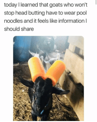 Dank, Head, and Information: '  today I learned that goats who won't  stop head butting have to wear pool  noodles and it feels like information l  should share 😍