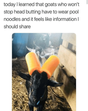 Head, Information, and Pool: today I learned that goats who won't  stop head butting have to wear pool  noodles and it feels like information l  should share