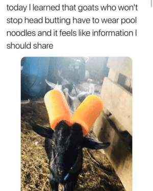 Head, Information, and Pool: today I learned that goats who won't  stop head butting have to wear pool  noodles and it feels like information  should share