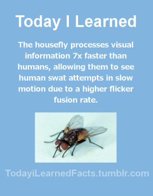 todayilearnedfacts:  Follow TodayiLearnedFacts for more Daily Facts!Source: Today I Learned  The housefly processes visual  information 7x faster than  humans, allowing them to see  human swat attempts in slow  motion due to a higher flicker  fusion rate.  TodaviLearned Facts.tumblr.com todayilearnedfacts:  Follow TodayiLearnedFacts for more Daily Facts!Source